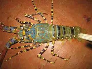 bagacay lobster