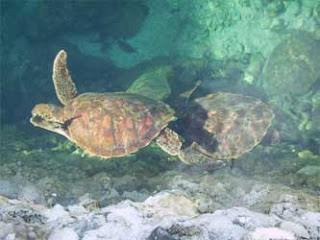 bagacay turtles