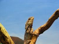 Riverbanks Zoo frilly lizard