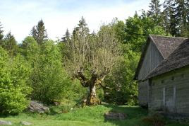 Hamlad trä vid Sporrakulla, Glimåkra, Göinge