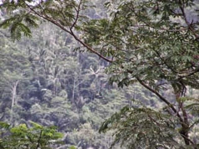 pohon aren