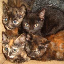 four kittens, three tortoise-shell colour and one black