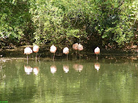 Flamingos Line Up at the Greenville Zoo