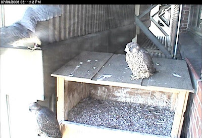 lansing peregrine nest