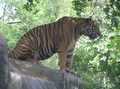Confusion, Chaos During San Francisco Zoo Tiger Attack ...