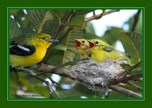 Common IOra Nestling
