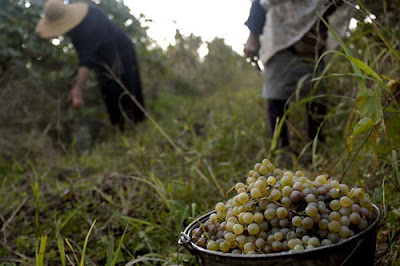 Georgian Wine Harvest
