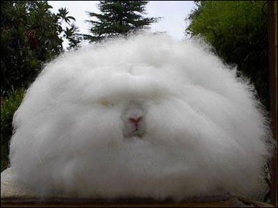 Angolan rabbit
