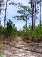Through baby pine trees on the mountain bike trail at Sesqui Park Columbia