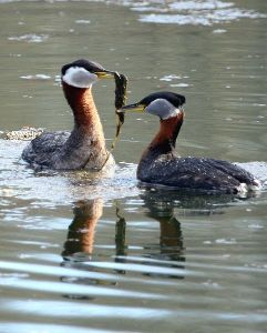 Red-necked Grebes performing a courtship display.