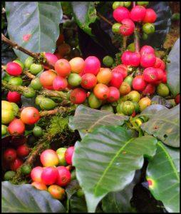 Shade grown coffee Nicaragua-3