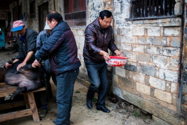 Villagers collect the blood from the slaughtered pig, January 5, 2015.