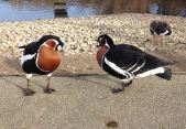 redbreastedducks