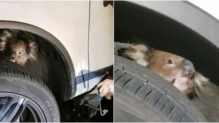 コアラ怪事件…運転手が耳にした不気味な鳴き声の正体に仰天!!!