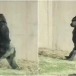 潔癖症のゴリラ「手を汚したくない!!」から二足歩行に専門家も驚愕!