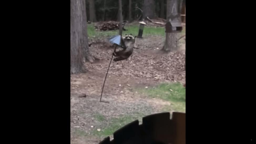 アライグマの可愛い動画
