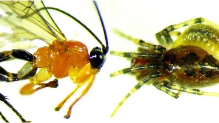 【新種発見】天敵をゾンビ奴隷化する特殊能力持った蜂がアマゾンにいた