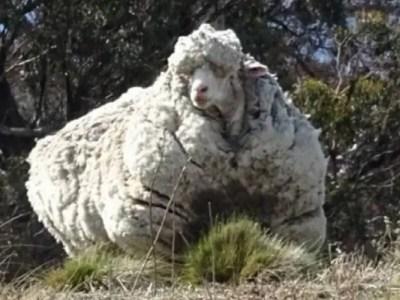 世界一のモコモコ羊クリス死す