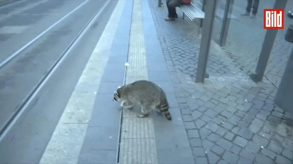 酔っ払いのアライグマ