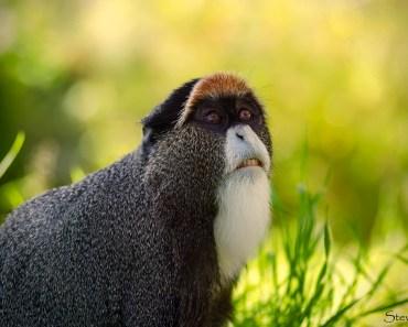 Macaco de Brazza