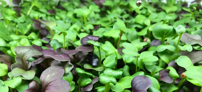 Flavorful Microgreens You Will Love