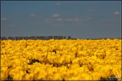Gele Tulpen / Yellow Tulips