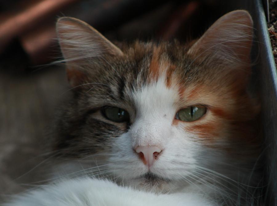 calico cat close up