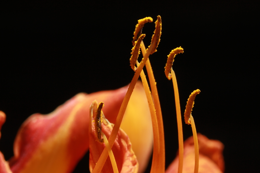 close up of an orange day lily