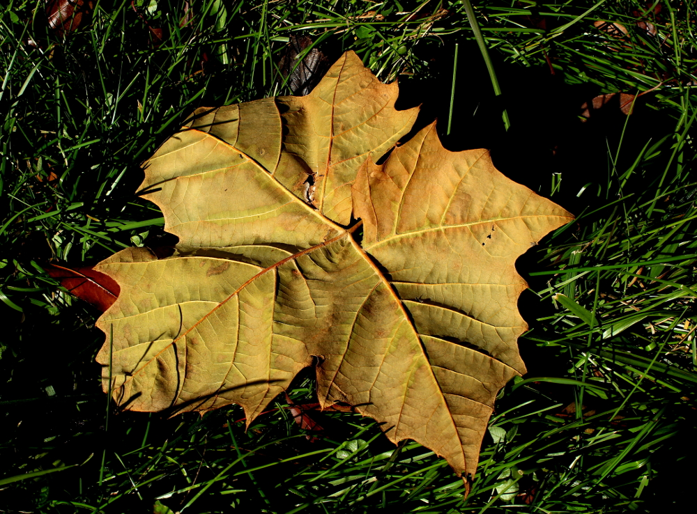 sycamore leaf lying in the grass