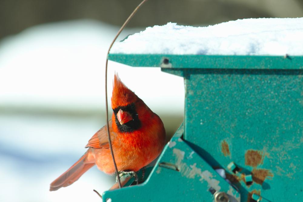 cardinal on feeder