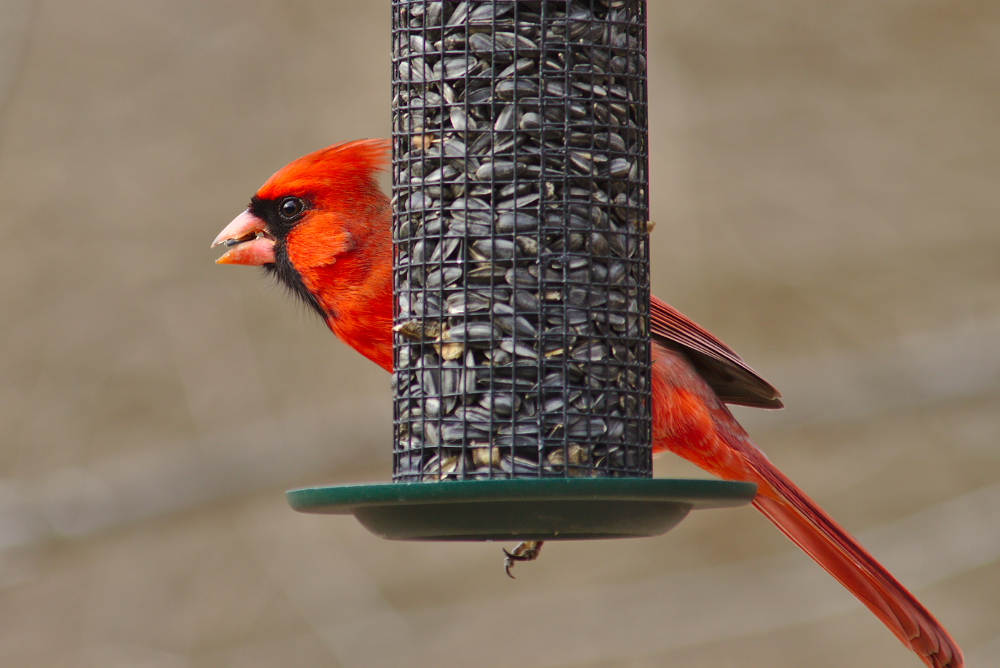 cardinal eating sunflower seeds