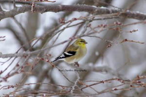 Goldfinch in last weeks snow