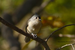Tufted Titmouse in November