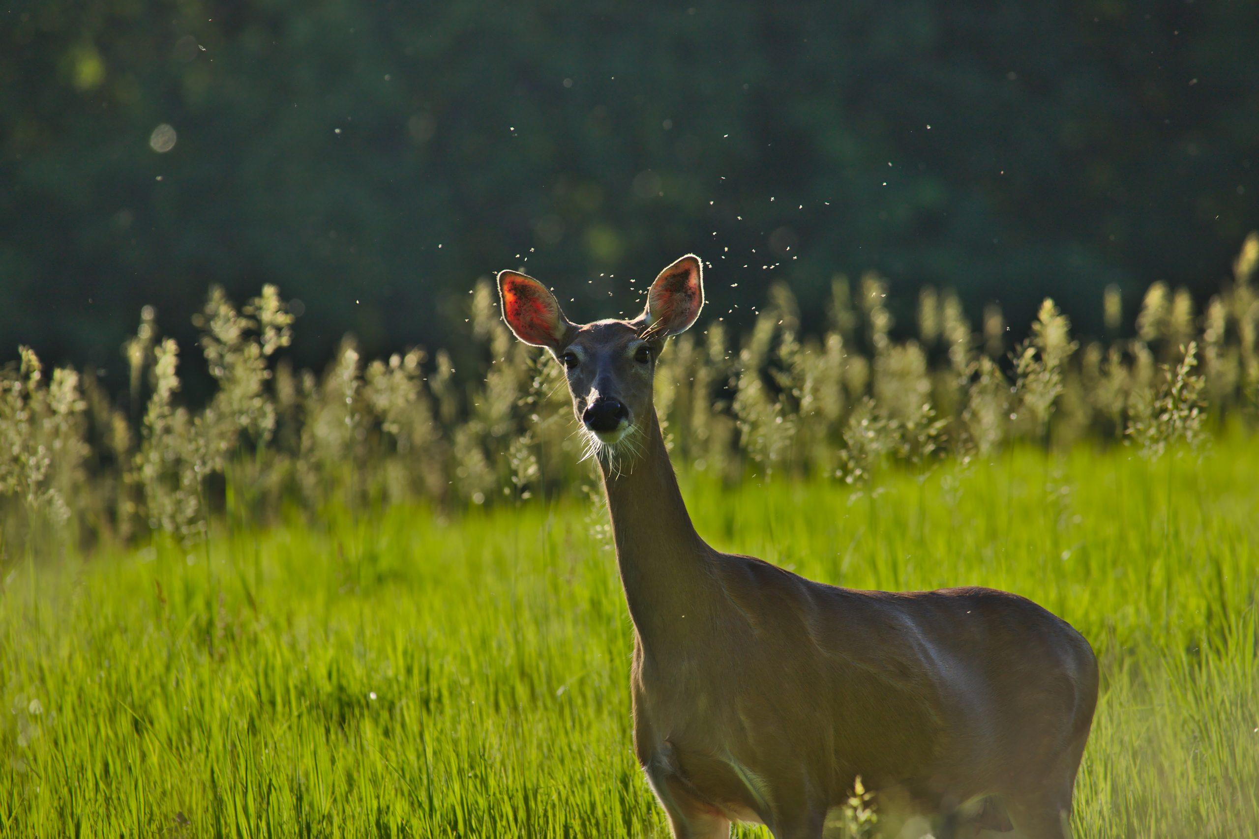 Momma Deer