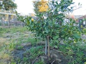 fruta-citrica_3-27-08