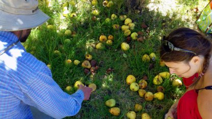 santa-cruz-fruit-tree-project_14_8-26-12