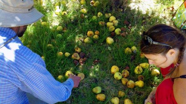 santa-cruz-fruit-tree-project_14_8-26-12