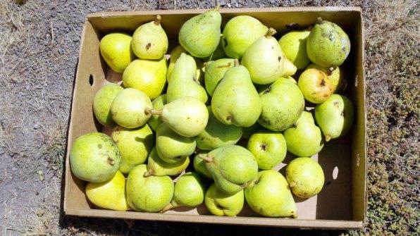 santa-cruz-fruit-tree-project_5_8-26-12