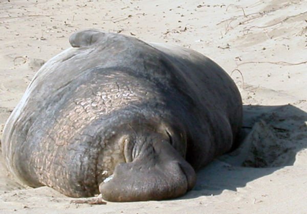 Sleepy elephant seal