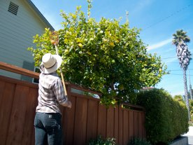 Thad Plucks Lemons from a Tree at Jonathan's House