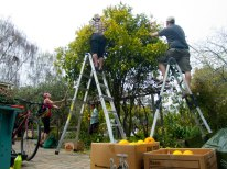 Harvesting Oranges with Santa Cruz Fruit Tree Project