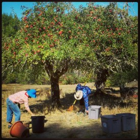 Blaize and Steve harvest apples