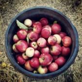 Apples in a bucket