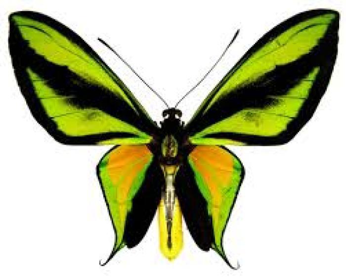 4. Ornithoptera Paradisea