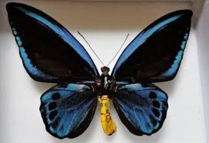 5. Ornithoptera Priamus