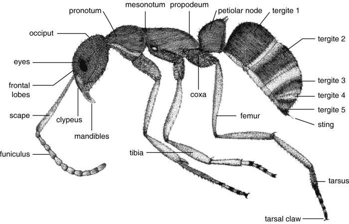 Beberapa Spesies Umum Pada Semut