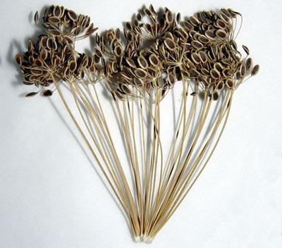 La pianta dell'aneto essiccata