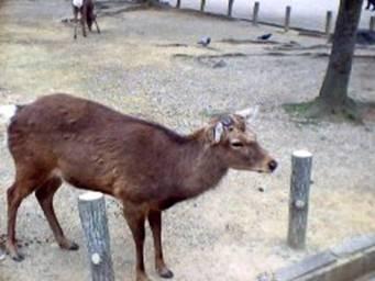 Animali nel parco di Nara