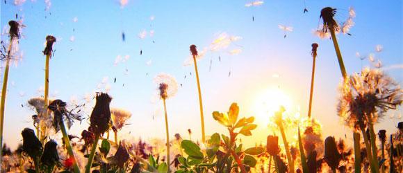 pollinisateur : envol des graines de pissenlis