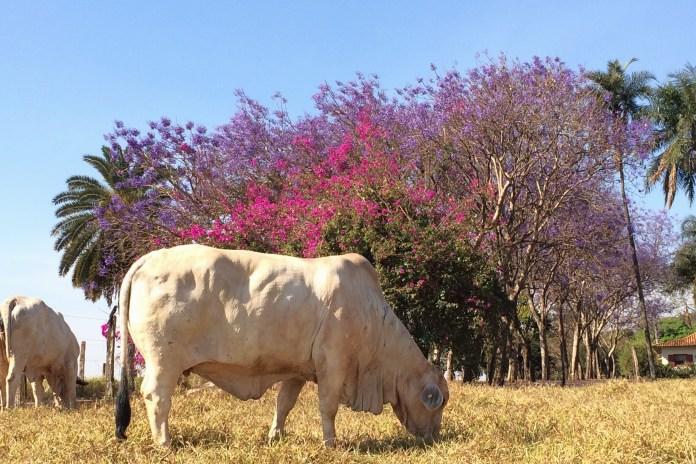 Doadora Brahmânia a pasto na seca braba